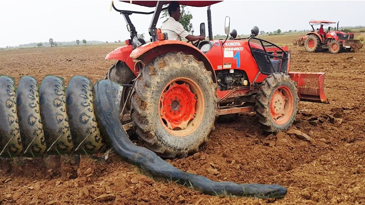 Terrifying!! Two Brothers Catch Two Big Snakes Nearby Two Tractors While Ploughing The Fields