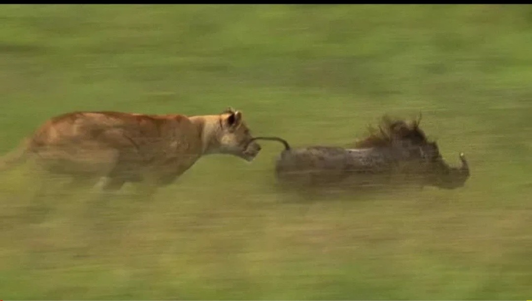 Mother Lioness Hunts Warthog - BBC Earth