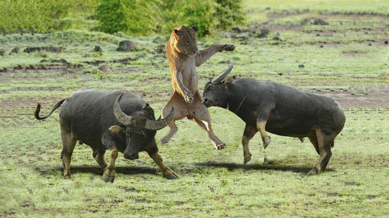 Buffalo Attacks Lion! Crazy Buffalo vs Lion Fight!