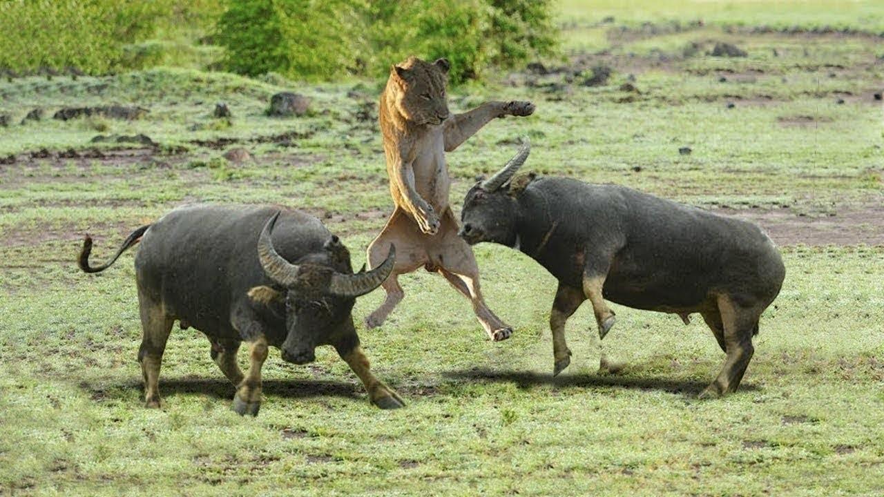 Buffalo Attacks Lion! Crazy Buffalo vs Lion Fight!