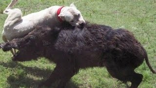 Top Ten Hog Hunting Fails: Graphic!!!