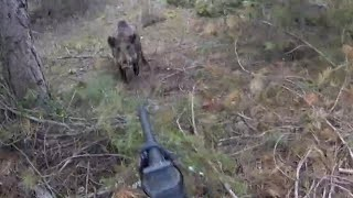 Great wild boar hunts.